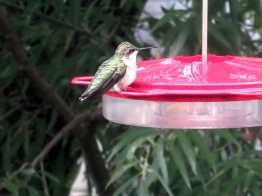lady hummer
